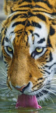Siberian Tiger by sylvia alvarez Beautiful Cats, Animals Beautiful, Regard Animal, Animals And Pets, Cute Animals, Wild Animals, Grand Chat, Gato Grande, Photo Animaliere