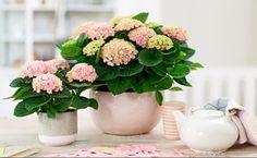 Heb jij de kamerhortensia al in huis?! Dit is de reden waarom ieder huishouden deze kamerplant zou moeten hebben! - Zelfmaak ideetjes