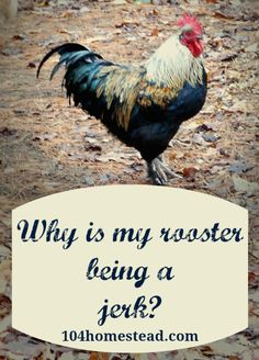 Roosters show aggression for a variety of reasons. Sometimes they perceive you as a threat. Other times they want to dominate you. Occasionally, your rooster will just be a jerk. | The 104 Homestead