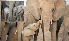 The sweet scene was caught on camera by photographer Corlette Wessels, at Madikwe Game Park in South Africa, who said the images of the baby elephant 'filled her heart with love'.