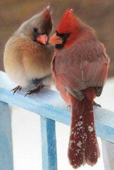 Mr & Mrs Cardinal in snow bird card