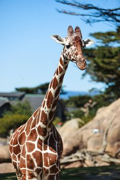 Young #giraffe, #zoo, #giraffes