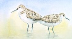 Sandpipers in the Water Original Watercolor Painting - 5 x 7 Art for Sale. $38.95, via Etsy. If you like nature, original art and watercolors go to my shop 6catsart on etsy to see my online art gallery of artwork for sale. © 2013 Corinne Aelbers