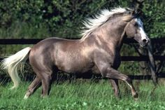 Arab-Barb silver black horse . This photo proves Barbs have silver gene because arabs haven't https://feelmyvibe.com/collections/all