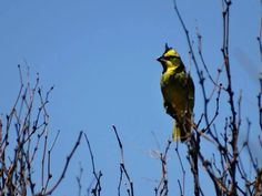 Daniel Aves: Proyecto de investigación sobre el cardenal amaril...