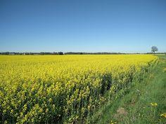 "Времена года: В Швеции цветёт рапс, а у Винсента Ван Гога - ""Звё..."