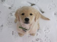 lab in the snow...yep I would let him do whatever he wanted with this face!