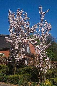 Prunus serrulata Amanogawa - Cherry