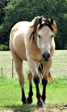 Picture Perfect Buckskin