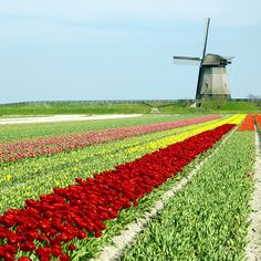 The tulip fields of Holland. Another amazing sight to see while on #Luxury #YachtCharter.