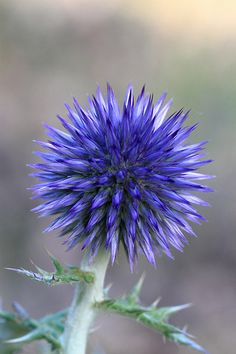 Globe Thistle - Echinops bannaticus Cut back at the end of Autumn