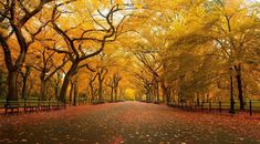 Yellow Autumn in Central Park, NYC