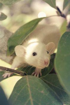 Rat - lovely image