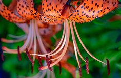 Voyage Among Tiger Lilies.  Join me on a macro journey through the tiger lilies. Buckle up!