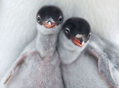 These penguin chicks.