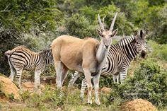 Eland and Zebra photographed on Game Drive. Private Games, Game Reserve, Photography, Animals, Photograph, Animales, Animaux, Fotografie, Photoshoot