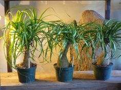 Indoor Gardening Grow and Care Ponytail Palm (Beaucarnea recurvata) - Ponytail Palm is a very popular houseplant in more temperate climates. Houseplants should be placed in a sunny window. Plants like sunny. Ponytail Plant, Ponytail Palm Care, Cacti And Succulents, Planting Succulents, Planting Flowers, Succulent Gardening, Bonsai Garden, Indoor Gardening, Easy Plants To Grow