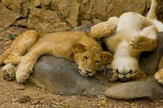 LEONES #Zoologico de #Cali #CaliCo #Colombia #Turismo #SomosTurismo Cali Colombia, Lion, Animals, Parks, Tourism, Leo, Animales, Animaux, Lions