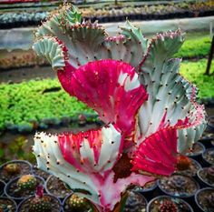 Wowee! Never seen one of these before. Gorgeous coloring. // Euphorbia lactea