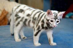 Zebra kitty