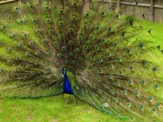 Beautiful colors #peacock #color