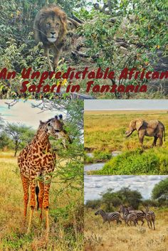 African safaris can be quite unpredictable, and this is what I got during my safari in Tanzania.