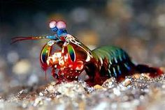 Rainbow manis shrimp.  planet's most powerful bare-knuckle boxers.