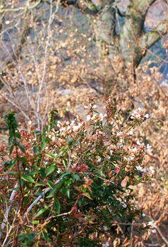 Flowering abelia