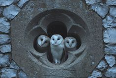 Three young barn owls looking out of the quatrefoil of a church in North Norfolk, England.