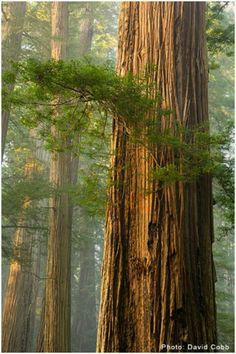 Giant Redwood trees in California