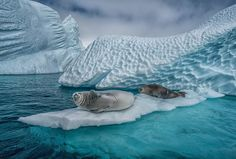 Ice plays a key role in the health of Southern Ocean marine life, providing nesting and foraging areas for penguins and seals, like these Crab Eater Seals taking a blissful summer sun bath near Cuverville Island. Sea ice is home to the algae that draws massive underwater clouds of shrimp-like krill, the chief source of food for many penguins, seals, and even whales