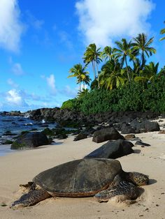 A Hawaiian Green Turtle basking at Laniakea (Turtle) Beach. At a length of over 5 feet and weighing in between 200-400 pounds, they deserve to take a load off.