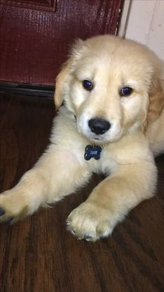 25 Delightful Thor Golden Retriever Images Golden Ret Golden