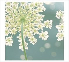 Love Queen Anne's Lace.  We would pick them and my Grandma would place them in a jar of water and add food coloring.  Loved watching them turn colors!!