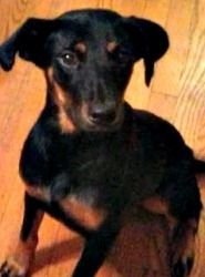 Lainey is an adoptable Shepherd Dog in Washington, DC.  Shepherd / Feist mix, female, 1-year-old, 38 pounds If you are viewing Lainey on Petfinder, please click below for more information! I'm a young...