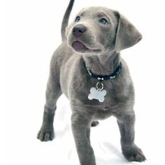 Silver labrador retriever Dog Puppy Dogs Puppies