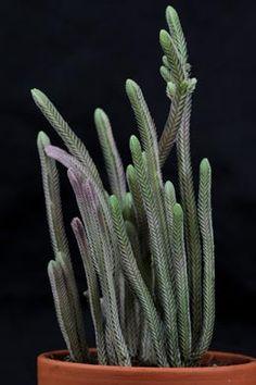Crassula muscosa Variegata
