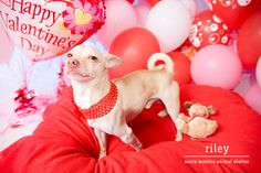 A Santa Monica Animal Shelter chihuahua dog named Riley on Valentine's Day
