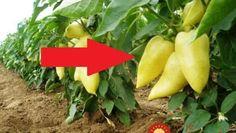 Z jednej rastliny budete mať plody celé roky: Stačí, ak po zbere poslednej papriky vyskúšate trik starých pestovateľov! Bude, Flora, Stuffed Peppers, Landscape, Gardening, Vegetables, Plants, Landscaping, Red Peppers