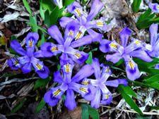 Iris lacustris: Dwarf Lake Iris , The dwarf lake iris occurs on the northern lakeshores of Lake Michigan and Lake Huron in Michigan, and Lake Michigan in Wisconsin. Michigan Travel, State Of Michigan, Lake Michigan, Wisconsin, Iris Flowers, Wild Flowers, Lake Huron, Flower Images, Great Lakes