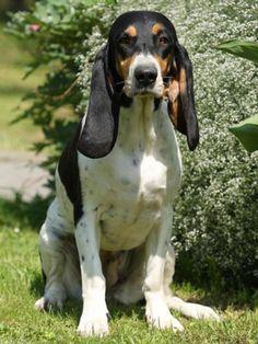 bernese hound | Swiss Hound (Bernese Hound) (059) | Dog Breeders in Greece