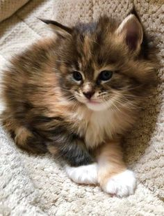 Cute Little Kittens, Baby Kittens, Cute Little Animals, Kittens Cutest, Cats And Kittens, Cute Cats, Pretty Cats, Beautiful Cats, Animals Beautiful