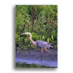 An adult Blue Heron I came across along the DuPage River, near Warrenville IL