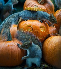 Squirrel Decides to Steal a Pumpkin from Photographers Backyard - BlazePress