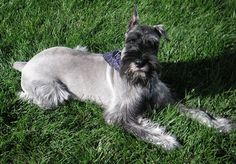 Everything you need to know about schnauzer puppies