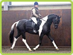 Les Pies de Morinda : Eleveur de chevaux de couleur, Specialiste du cheval Pie, Achat, vente chevaux.