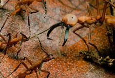 Army Ants - National Geographic Magazine.