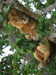 crescentmoon animalia Nature Animals, Animals And Pets, Baby Animals, Funny Animals, Cute Animals, Big Cats, Cool Cats, Cats And Kittens, Lion Pictures