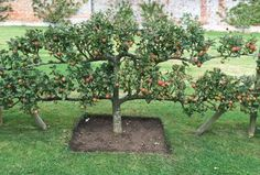 Potager Garden Growing apples takes commitment that keeps the fire in the American love affair with the fruit. - Get handy tips on creating a simple layout for your fruit trees. Espalier Fruit Trees, Fruit Tree Garden, Garden Trees, Apple Garden, Potager Garden, Edible Garden, Vegetable Garden, Garden Landscaping, Landscaping Ideas