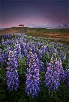 landscape -- lupine wildflowers